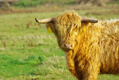 Bull. The grazed long-haired bull, seems the Scottish breed Royalty Free Stock Images