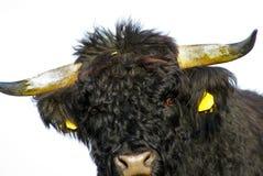 Bull fotos de archivo