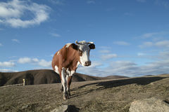 Bull Immagini Stock Libere da Diritti