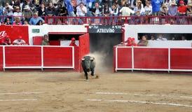 Bull Stock Image