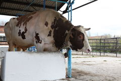 Bull Lizenzfreie Stockfotos