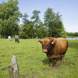Bull. With a family on grass Royalty Free Stock Photo