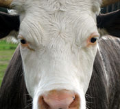 Bull 2. Close up of bull who look a bit bored Stock Image