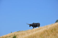 Bull Lizenzfreies Stockfoto