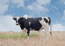 Bull. Big black bull on pasture Royalty Free Stock Photo