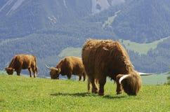 Bull Stockbilder