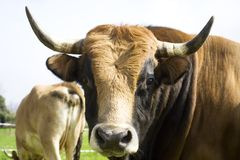 Bull. With some cows in a farm in Cantabria, Spain Stock Images