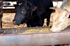 Bull photographie stock