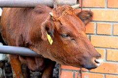 Bull Stockfoto