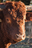 Bull Foto de Stock