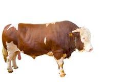 Bull Стоковое Фото