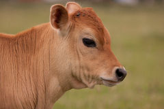 Bull Foto de archivo libre de regalías