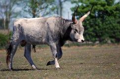 Bull Imagen de archivo