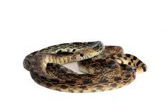 Φίδι του Bull Στοκ φωτογραφία με δικαίωμα ελεύθερης χρήσης