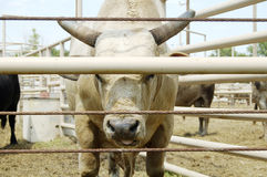Bull. In a pen at a rodeo arena Royalty Free Stock Photography
