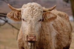 Bull Imágenes de archivo libres de regalías