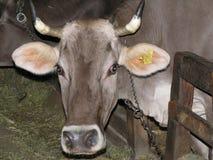Bull Imagem de Stock