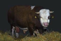Bull. Large bull look on camera royalty free stock photos