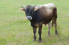 Bull Lizenzfreies Stockbild