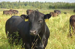Bull. Young bull in herd of cows Royalty Free Stock Photo