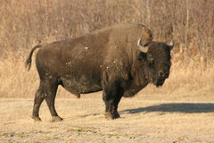 The bull. National park, elk island, canada Stock Images