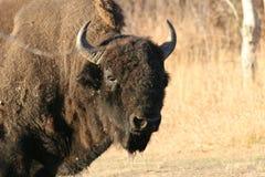 The bull. National park, elk island, canada Royalty Free Stock Photos