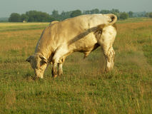 Bull. The old bull the lord of the pasture Royalty Free Stock Photography