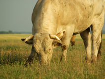 Bull. The old bull the lord of the pasture Stock Images