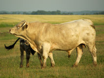 Bull. Taurus is the young person with a calf on the pasture Stock Photo