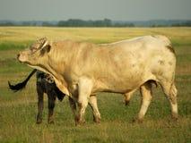 Bull Photo stock