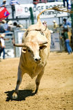 Bull. A bull at the rodeo finals in Gillete, WY Royalty Free Stock Image