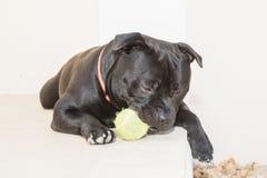 Портрет черной собаки терьера Стаффордшира Bull лежа вниз Стоковые Изображения