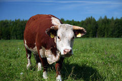 Bull. Hereford bull Royalty Free Stock Images