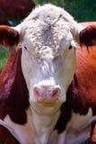 Bull Immagine Stock Libera da Diritti