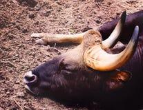 Bull addormentato Fotografia Stock Libera da Diritti