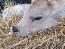Bull addormentato fotografia stock