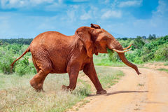 Bull African Elephant, Red From The Tsavo Mud Royalty Free Stock Photo