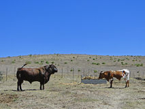 Bull against his girlfriend. Bull against his girlfriend on the field with blue sky background of hills and a feeding trough for animals Stock Image