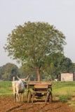 Bull agriculture Stock Photos