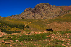 Bull on an alpine meadow Stock Photography