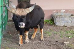 Bull. Angry bull making a funny face Stock Photography
