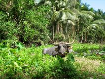 A bull is appeared from the tropical forest. Its head is under the high grass. The palms and forest are on the background. The photo was made in the stock photo