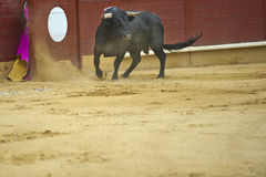 Bull in the arena. Royalty Free Stock Photo