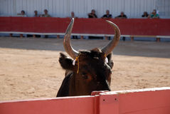 Bull in the Arena Royalty Free Stock Images