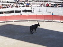 Bull in the arena Stock Image