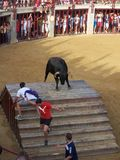 Bull in arena in Oropesa del mar. This image shows the bulls entertainment in Oropesa in Spain, which isn't cruel to animals. Boys only want to be close to bull Stock Photography