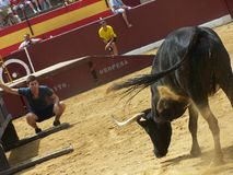 Bull in arena in Oropesa del mar. This image shows the bulls entertainment in Oropesa in Spain, which isn't cruel to animals. Boys only want to be close to bull Royalty Free Stock Photos