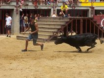 Bull in arena in Oropesa del mar. This image shows the bulls entertainment in Oropesa in Spain, which isn't cruel to animals. Boys only want to be close to bull Stock Photos