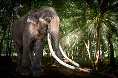 Bull Asia Elephant in Forest Stock Images