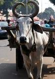 Bull avec les klaxons en forme de coeur Images libres de droits